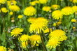 dandelion flower - 209142147