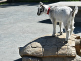 White and Grey Baby Goat - 209142112