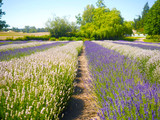 Perspective Lavender Field - 209145103