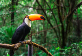 Toucan tropical bird sitting on a tree branch in natural wildlife environment in rainforest jungle - 209145965