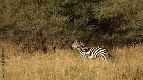 Zebra alone in the bush.