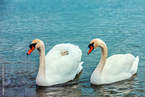 Foto Murales Portraits of couple of swans swimming in the lake together