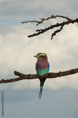 Lilac Breasted Roller with Cloud Background