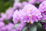 Lush rhododendron flower bush blooming - 209159738