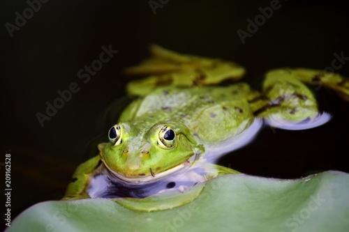 Fotobehang Kikker A GREEN FROG FLOATING IN WATER