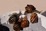 Edible snail escargot - 209166181