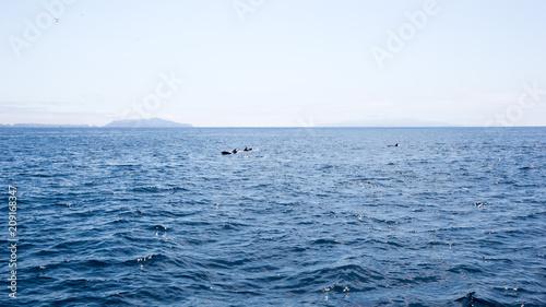 Fototapeta Playful dolphins swimming in ocean waters near Channel Islands, Southern California