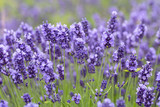 Lavender flowers blooming in the garden, beautiful lavender field. - 209173711