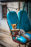HABANA, CUBA-JANUARY 13: Cuban dog on January 13, 2018 in Habana, Cuba. Dog in old Habana