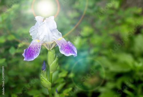 Fotobehang Iris White iris flower. Shallow DOF. Defocused background.
