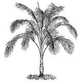 Palm Howea belmoreana #vector #isolated - Palme
