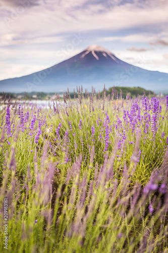 View of Mountain Fuji and lavender fields in summer season at Lake kawaguchiko - 209183161