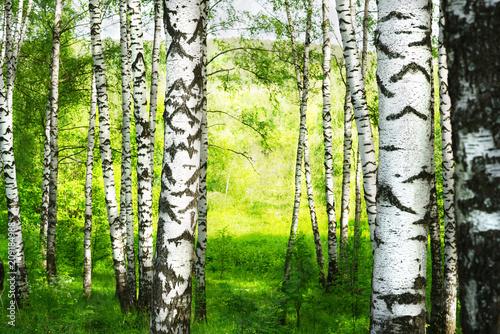 Plexiglas Berkenbos summer in sunny birch forest