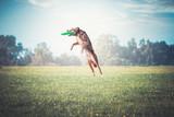 Hund springt zur Frisbee - 209187319