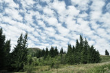 Huge spruce trees in the mountains and a beautiful sky.