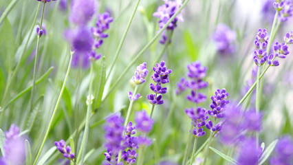 Lavender flowers blooming which have purple color and good fragrant for relaxing in summer.