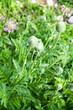 green poppy buds on flowerbed in garden