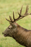Beautiful stag with great antlers on green meadow - 209192701