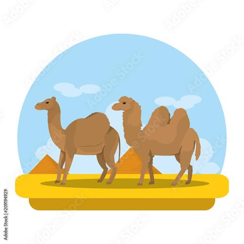 Fototapeta camel and dromedary desert animal travel
