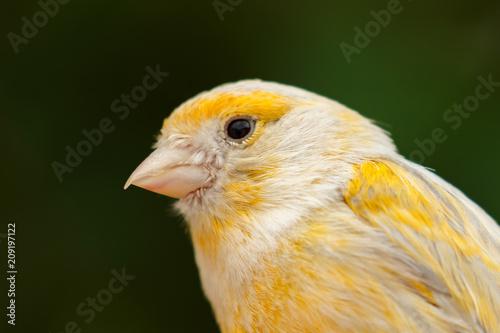 Foto Murales Beautiful yellow canary