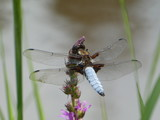 big blue dragonfly is sitting on a branch - 209197505