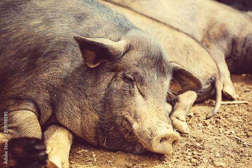 Fotobehang Galyna A. Vietnamese pig