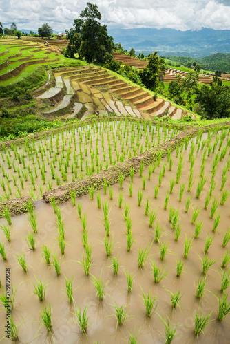 Aluminium Rijstvelden transplant rice terrace seedlings field in Ban Pa Bong Piang, Chiagmai, the north of thailand