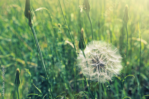 Spring flowers dandelions in green grass. - 209204561