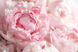 Fluffy pink peonies flowers background - 209206510