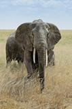 Serengeti, Tasania - 209206540