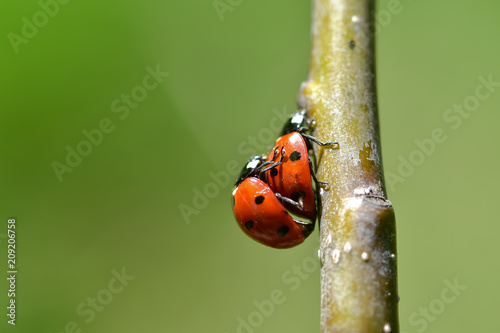 Foto Murales The red dot. Ladybug on green foliage.