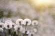 Many white delicate air colors of dandelions and spring sunny rain  and flies flying in the air.