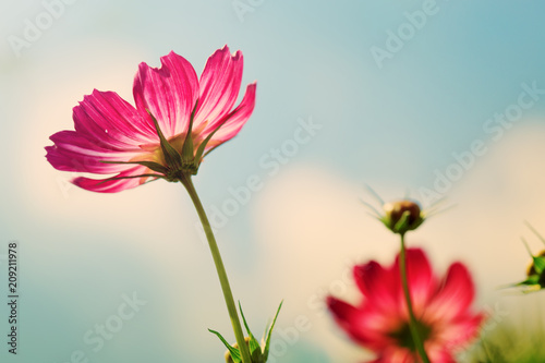 Pink cosmos flowers isolated on blue sky.