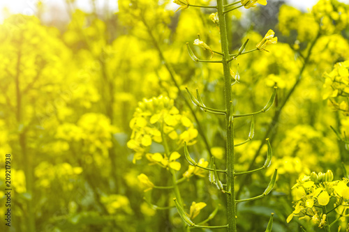Plexiglas Geel field of mustard in early summer, during flowering period