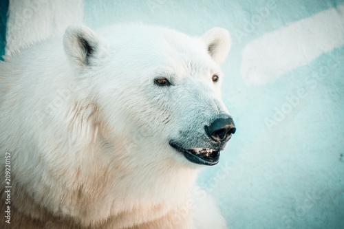 Fotobehang Ijsbeer Portrait of a polar bear