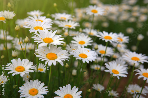 White daisy flowers . Summer background. - 209221988