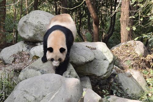 Fotobehang Panda Step on stones