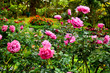 Colorful rose flowers blooming in garden