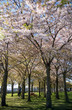 girl in park with beautiful blossoming trees, copenhagen, denmark