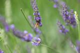紫色のラベンダーの花とミツバチ - 209229953