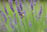紫色のラベンダーの花とミツバチ - 209229973
