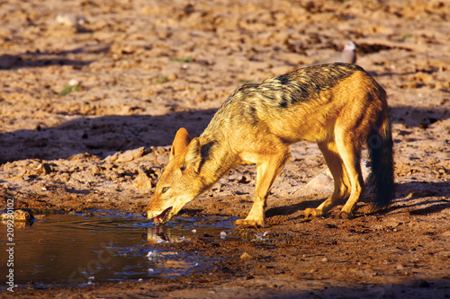 The black-backed jackal (Canis mesomelas)  in the desert. Jackal by the water in the evening light. Jackal at sunset at waterhole.