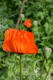 close-up of a bright scarlet poppy flower blooming in the garden on a summer day, on a soft blurry background of green foliage