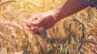 Leinwanddruck Bild - Farmer agronomist touching cultivated green wheat plants in field