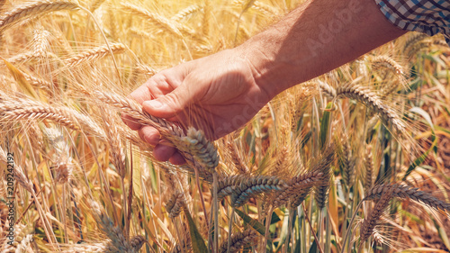 Farmer agronomist touching cultivated green wheat plants in field - 209242192