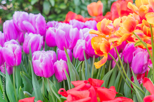 Fotobehang Tulpen field of blooming colorful tulips, spring flowers in the garden
