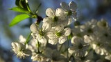 Cherry flowers in spring sun - 209245587
