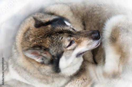 Fototapeta Wolf.