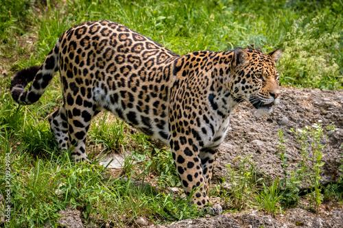 Naklejka Großer Jaguar auf der Jagd