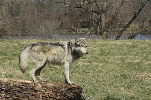Fototapeta Wolf on a Log